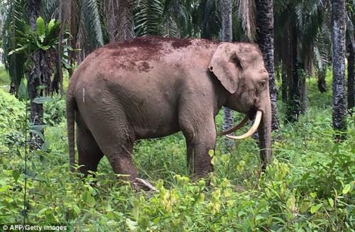 Chú voi có cặp ngà không giống ai - 2