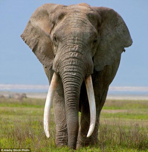 Chú voi có cặp ngà không giống ai - 3