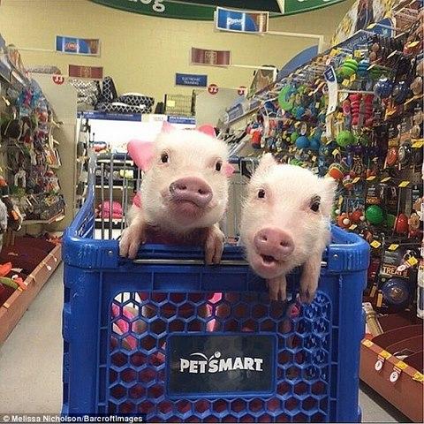 Ngắm 2 chú lợn này, nhiều người đã từ bỏ ăn thịt lợn - 2