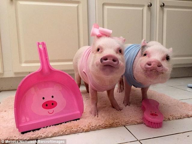 Ngắm 2 chú lợn này, nhiều người đã từ bỏ ăn thịt lợn - 6