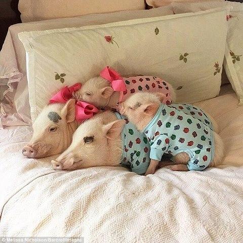 Ngắm 2 chú lợn này, nhiều người đã từ bỏ ăn thịt lợn - 5