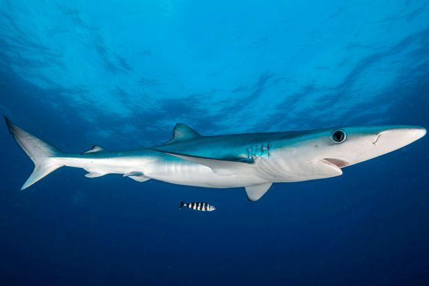 Lần đầu ra khơi, câu được cá mập xanh lớn nhất nước Anh - 3