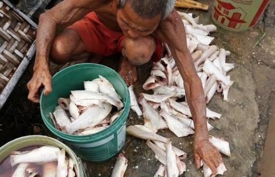 Gần 70 tấn cá lồng tiếp tục chết trắng sông Mã - 2