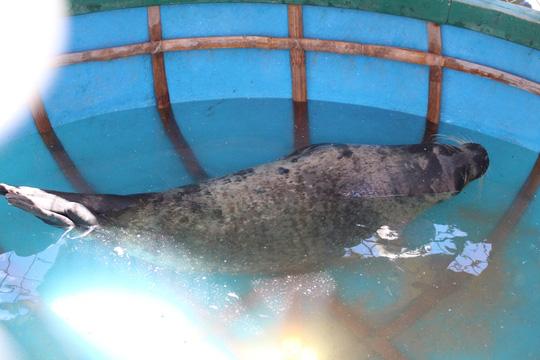 Quảng Nam: Người dân bất ngờ bắt được hải cẩu - 1