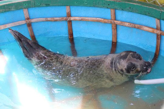 Quảng Nam: Người dân bất ngờ bắt được hải cẩu - 2