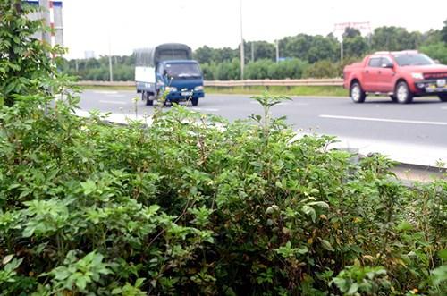 Chi 53 tỷ cắt cỏ tỉa cây, đại lộ Thăng Long vẫn như rừng - 4