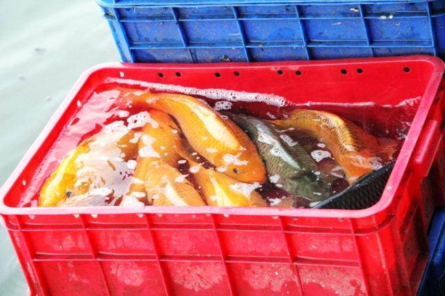 Cá vừa được phóng sinh xuống sông Sài Gòn đã bị tóm - 4