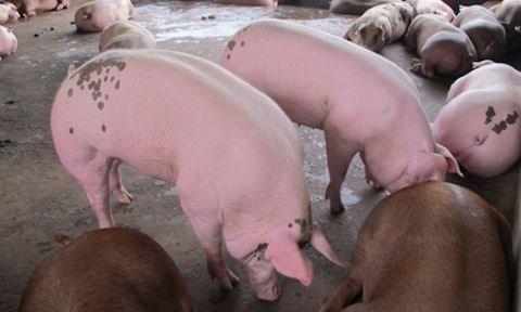 """Khuyến cáo TQ trở lại ồ ạt thu mua lợn mỡ, cá tra """"khổng lồ"""" - 1"""