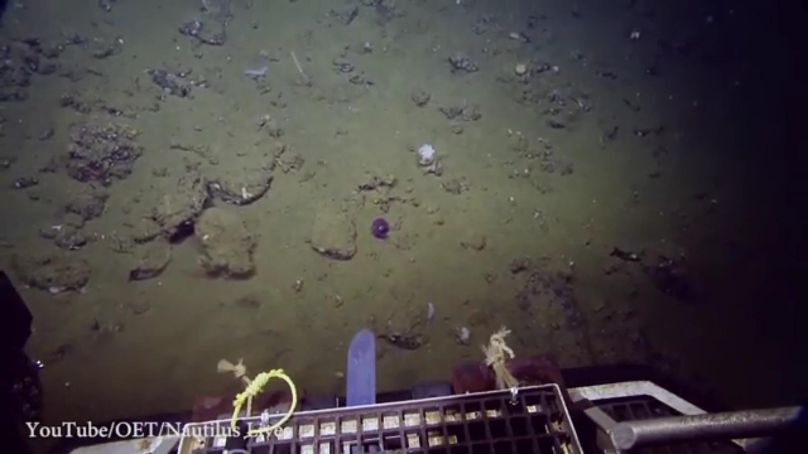 Phát hiện con mực tím mắt tròn quái lạ dưới đáy biển - 2