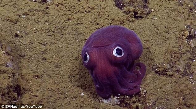 Phát hiện con mực tím mắt tròn quái lạ dưới đáy biển - 1