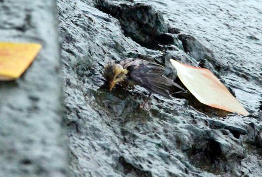 Xác chim phóng sinh nằm la liệt sau lễ Vu Lan - 3