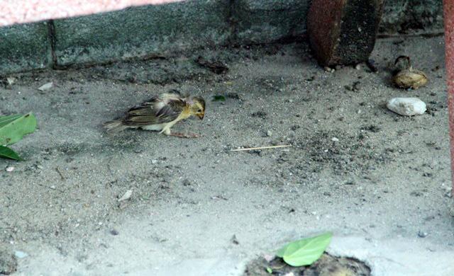 Xác chim phóng sinh nằm la liệt sau lễ Vu Lan - 5