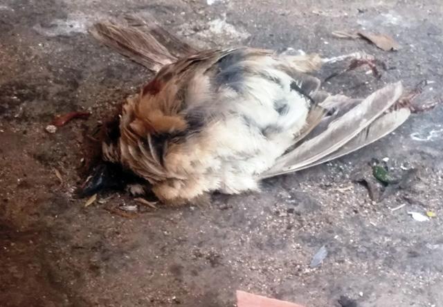 Xác chim phóng sinh nằm la liệt sau lễ Vu Lan - 8
