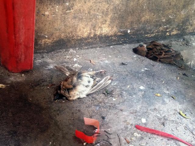 Xác chim phóng sinh nằm la liệt sau lễ Vu Lan - 7