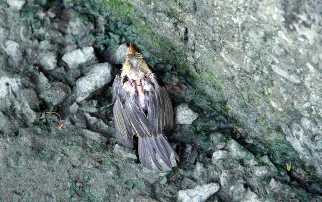 Xác chim phóng sinh nằm la liệt sau lễ Vu Lan - 4