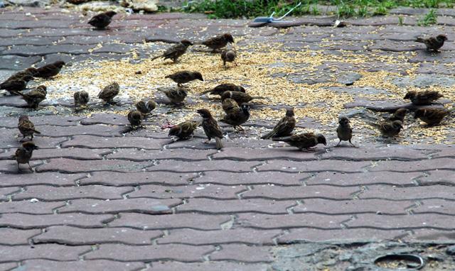 Xác chim phóng sinh nằm la liệt sau lễ Vu Lan - 11