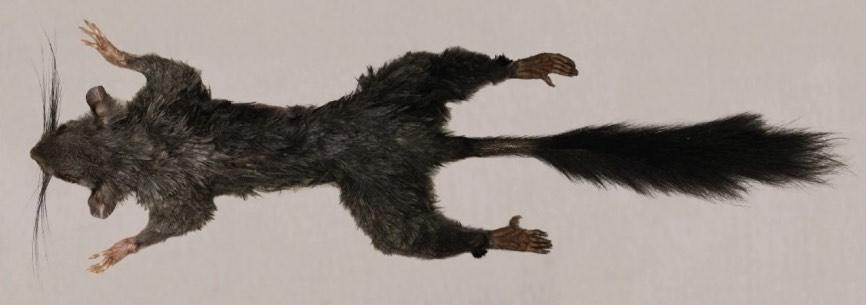 Tìm thấy loài động vật có vú bí ẩn nhất thế giới - 1