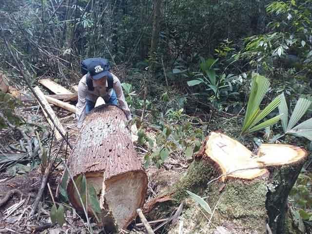 Bắt nhiều đối tượng quan trọng trong vụ phá rừng pơ mu - 1