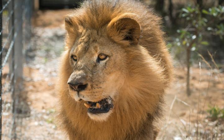 Nam Phi: Bị đưa vào chuồng sư tử, bé 12 tuổi tử vong - 2