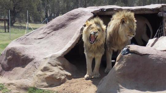 Nam Phi: Bị đưa vào chuồng sư tử, bé 12 tuổi tử vong - 1