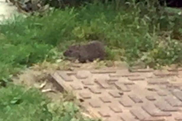 Hãi hùng chuột to như chó xâm chiếm sân vườn - 1
