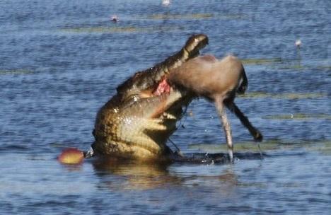 Cá sấu khổng lồ nuốt gọn chuột túi trưởng thành trong 30 giây - 3
