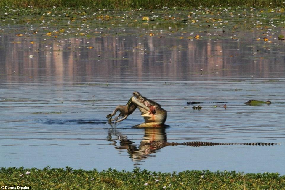 Cá sấu khổng lồ nuốt gọn chuột túi trưởng thành trong 30 giây - 1