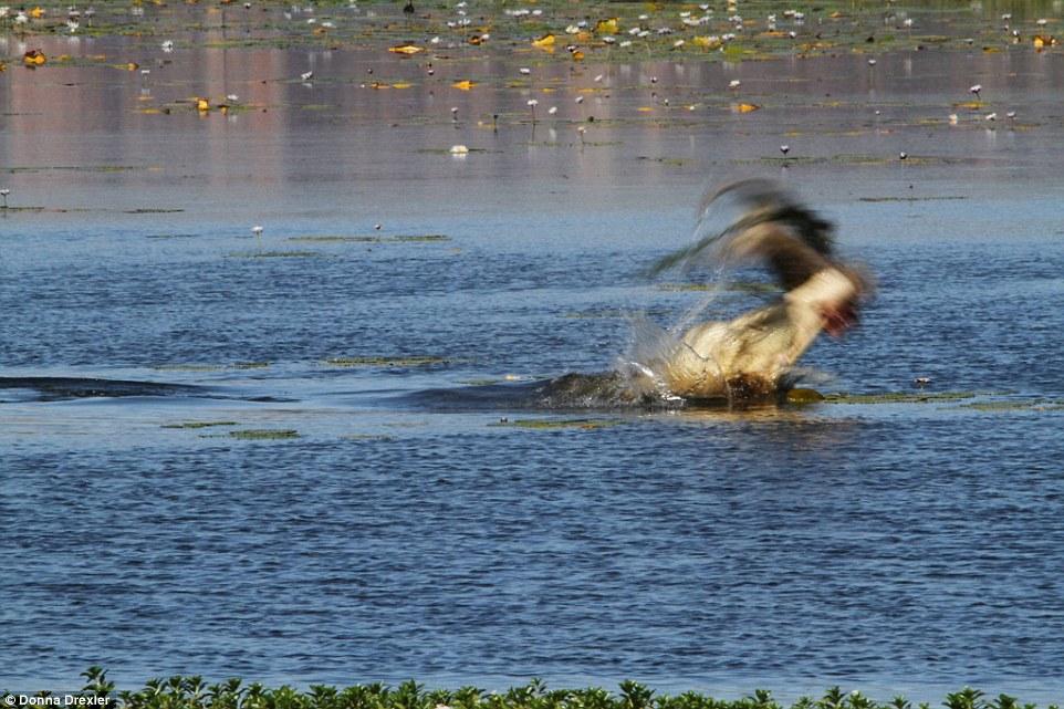 Cá sấu khổng lồ nuốt gọn chuột túi trưởng thành trong 30 giây - 2