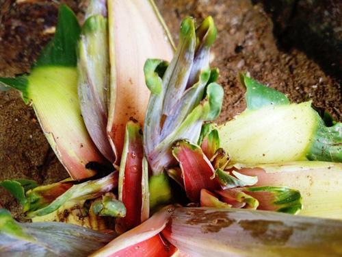 Dân đổ xô, cúng vái cây chuối 15cm nở liền 6 bắp hoa - 3