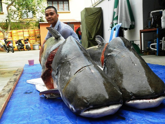 """Cặp cá tra nặng gần 400kg """"bơi"""" về Sài Gòn - 1"""