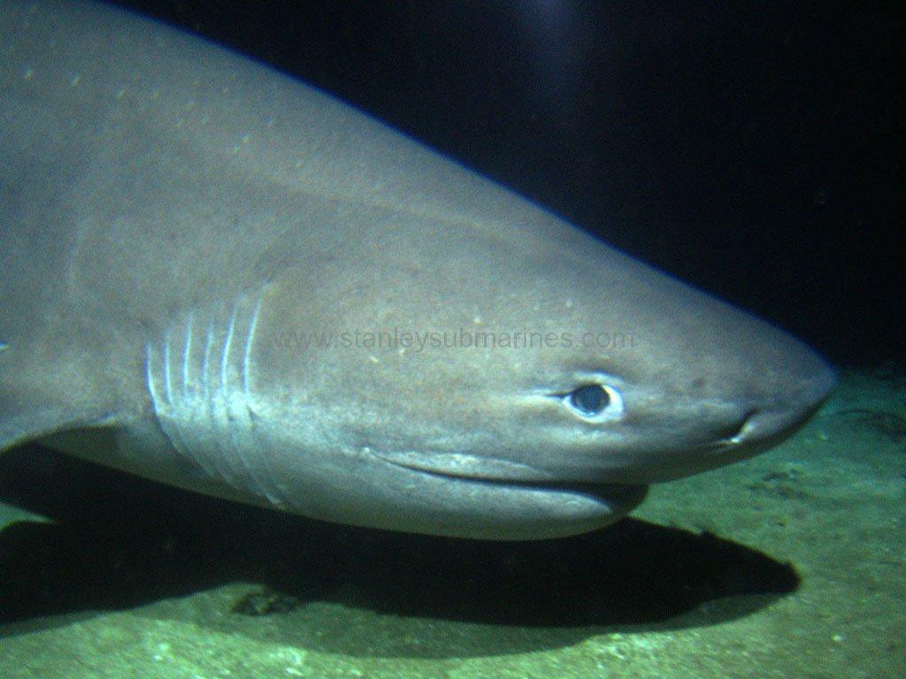 Bắt gặp cá mập 6 mang có nguồn gốc trước thời khủng long - 4