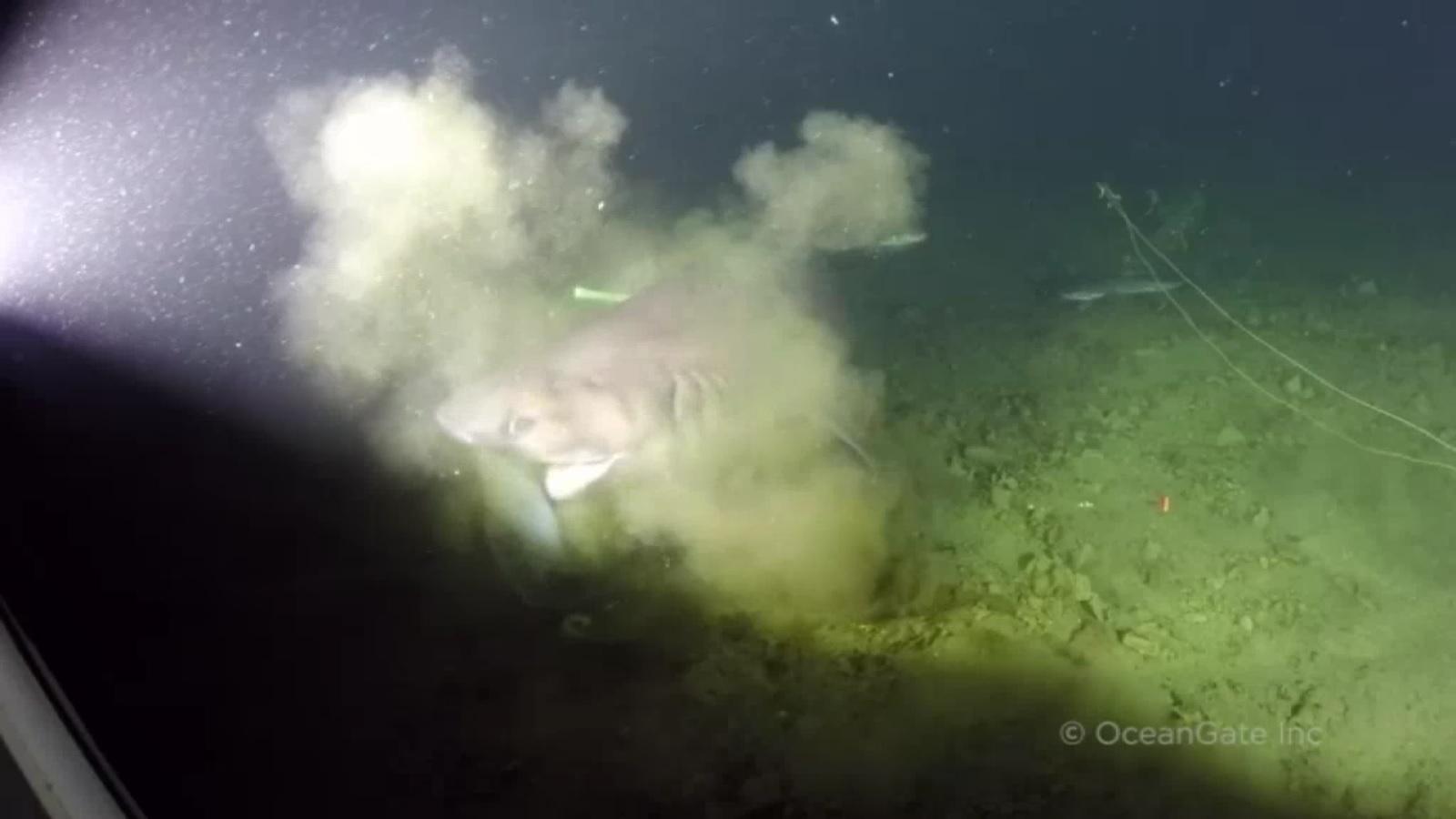 Bắt gặp cá mập 6 mang có nguồn gốc trước thời khủng long - 3