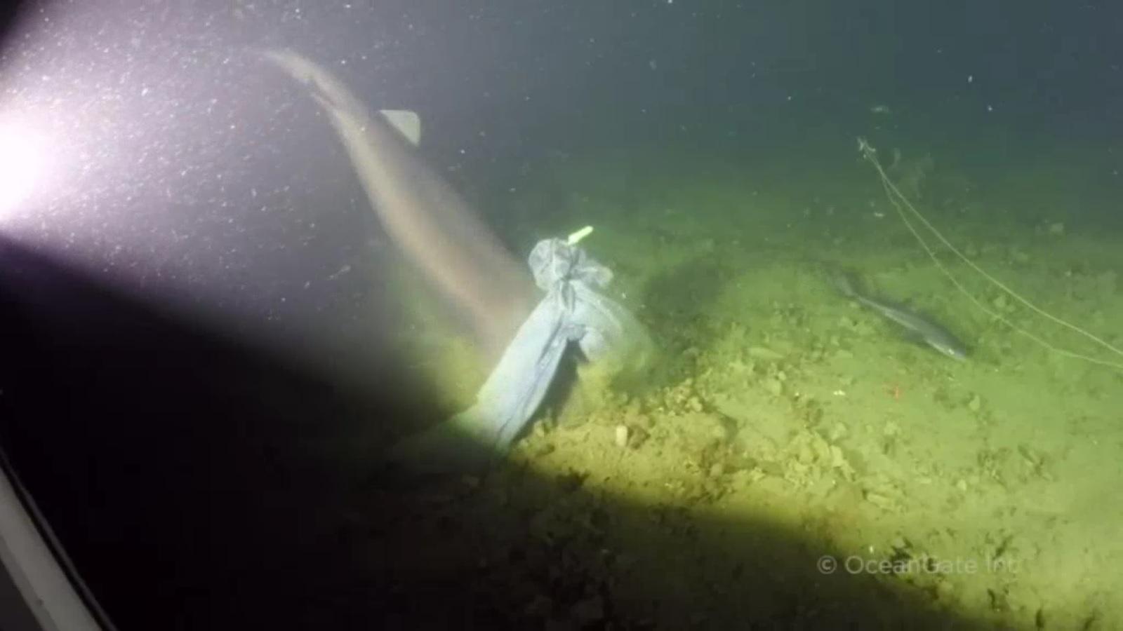 Bắt gặp cá mập 6 mang có nguồn gốc trước thời khủng long - 2