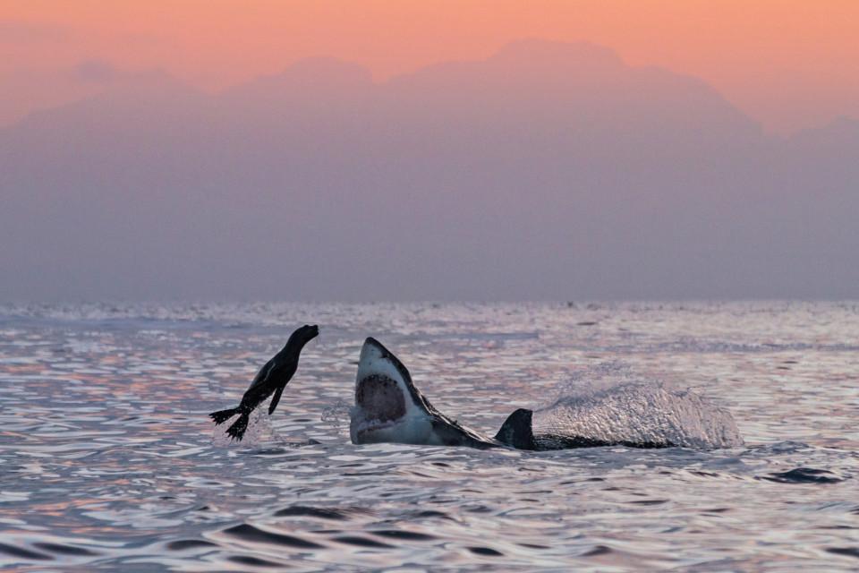 """Hải cẩu """"số nhọ"""" nhảy đúng vào hàm cá mập khổng lồ - 1"""