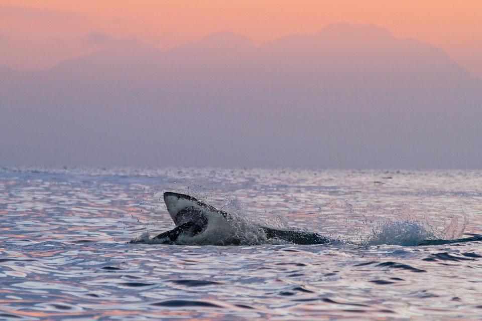 """Hải cẩu """"số nhọ"""" nhảy đúng vào hàm cá mập khổng lồ - 3"""