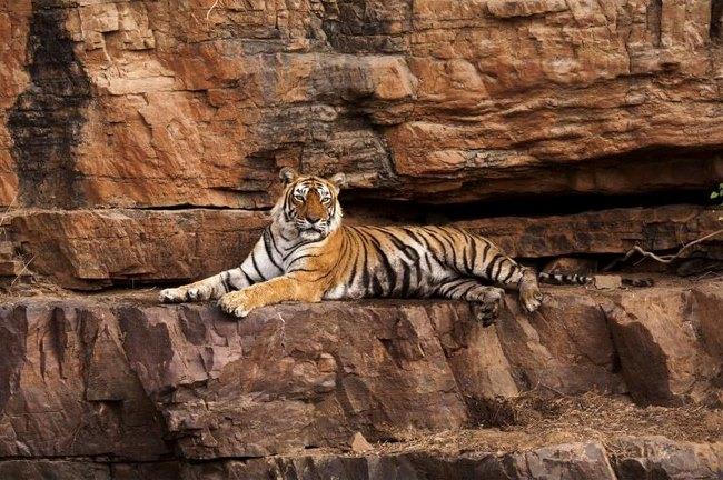 Con hổ già và nổi tiếng nhất Ấn Độ qua đời - 1
