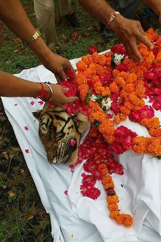 Con hổ già và nổi tiếng nhất Ấn Độ qua đời - 2