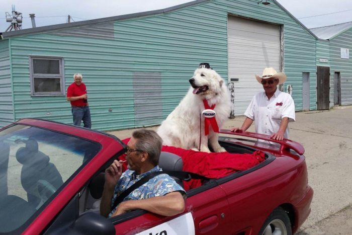 Nơi người dân bầu chó làm thị trưởng suốt 3 nhiệm kì - 1