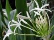 """Náng hoa trắng – """"Khắc tinh"""" của phì đại tiền liệt tuyến"""