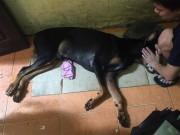Chú chó bị đâm trọng thương ở cổ đã chết