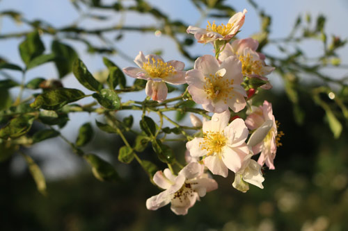 Choáng với vườn hồng đẹp như tây ở ngoại ô Hà Nội - 6