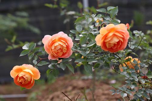 Choáng với vườn hồng đẹp như tây ở ngoại ô Hà Nội - 3