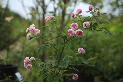 Choáng với vườn hồng đẹp như tây ở ngoại ô Hà Nội - 10