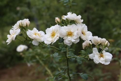 Choáng với vườn hồng đẹp như tây ở ngoại ô Hà Nội - 13