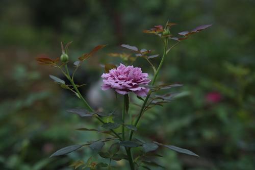 Choáng với vườn hồng đẹp như tây ở ngoại ô Hà Nội - 16