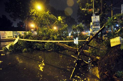 Kỳ lạ cây xanh bật gốc 7 lần ở Sài Gòn - 1