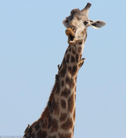 Những khoảnh khắc hài hước trong thế giới động vật - 8