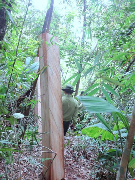 """Chủ tịch tỉnh Quảng Nam: """"Vụ phá rừng pơ mu không đơn giản"""" - 2"""