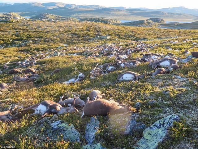 Ảnh: 300 con tuần lộc bị sét đánh chết la liệt ở Na Uy - 3