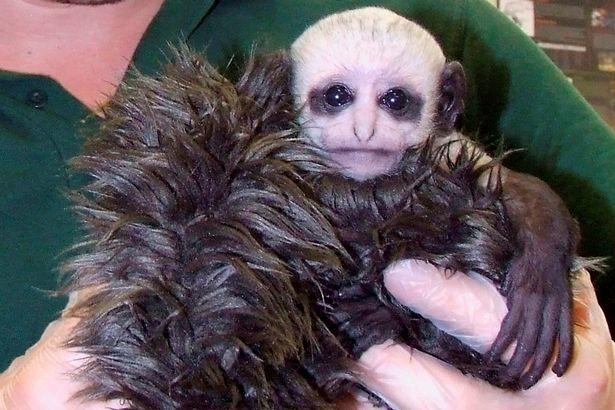 Khỉ mới sinh có khuôn mặt như Chúa tể hắc ám - 2
